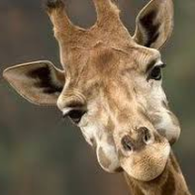 giraffekey